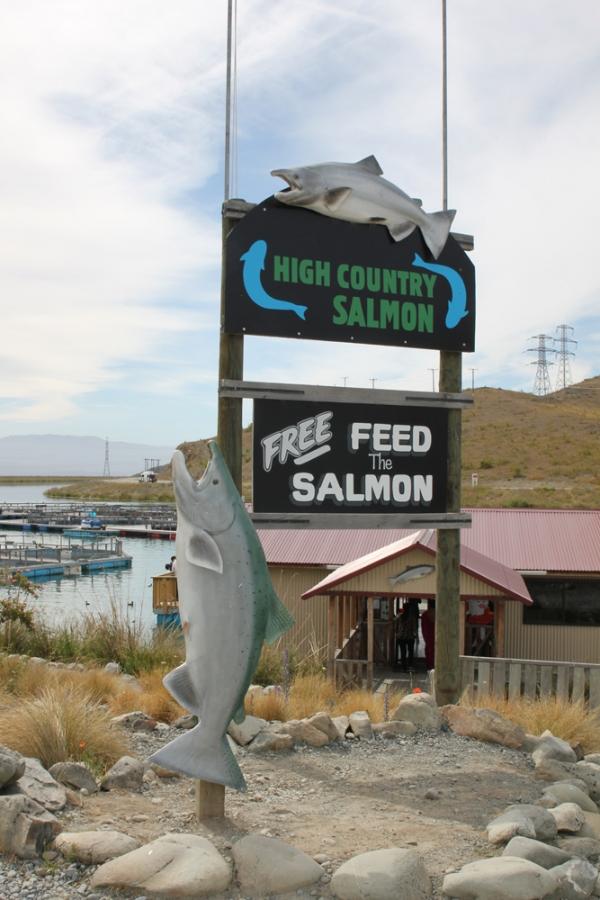 New Zealand 2014 (754) High Country Salmon, Twizel